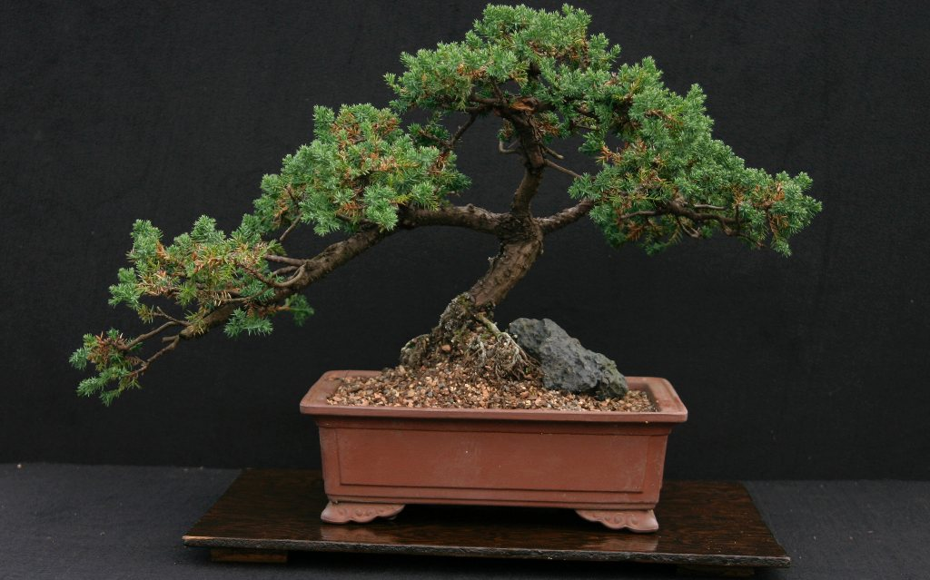 juniper bonsai juniper care guide for the juniper bonsai tree
