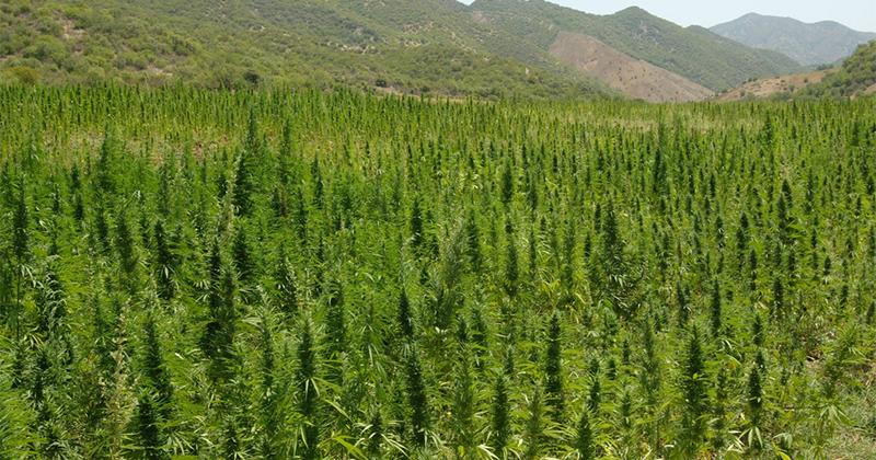 guide de culture de cannabis pour debutant